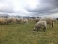 Puma's, zeehonden, schapen